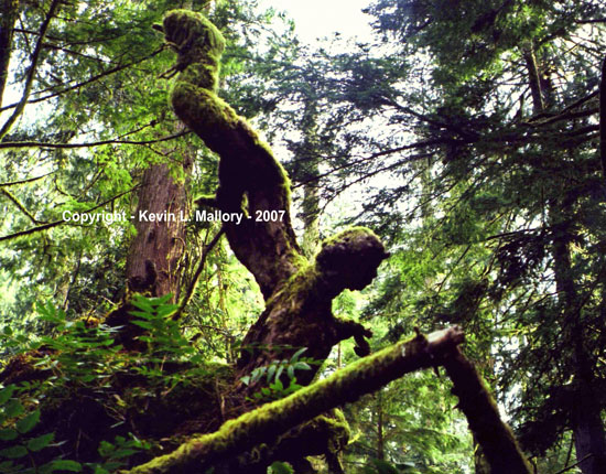 1 - The Guardian Angel of Cathedral Grove - Vancouver Island, BC