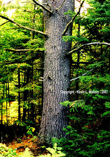 12 - The Forest Sentinel of Algonquin Park
