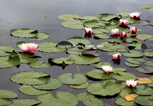 15 - Water Lilies on a River in the Margaree Valley - Cape Breton