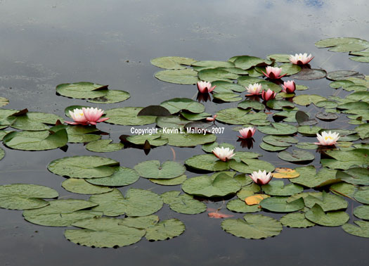 13 - Blooming Water Lilies in the Margaree Valley - Cape Breton