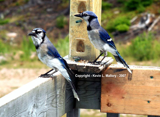 22 - Two Bluejays Waiting For the Maitre D'