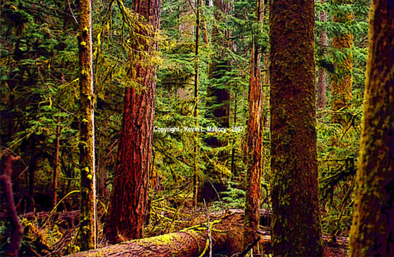 63 - The Old Growth Forest at Cathedral Grove - Vancouver Island, BC