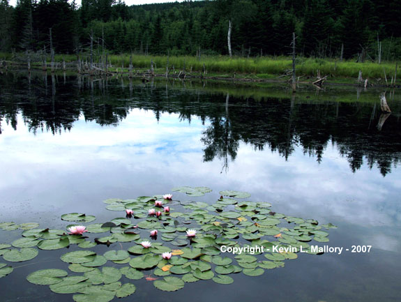24 - Water Lilies on the River - Margaree Valley, Cape Breton