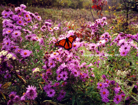 1 - A Monarch Butterfly at Rest Amongst Wild Asters