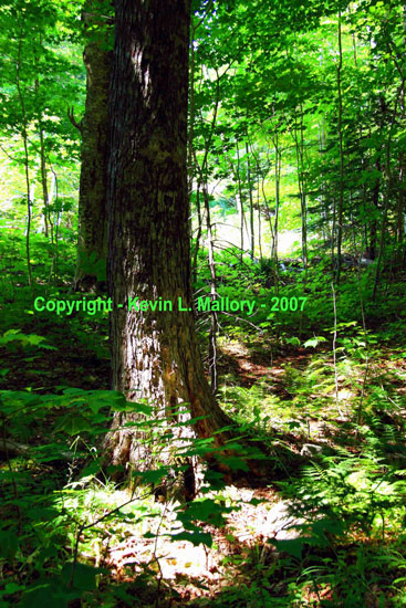 26 - An Old Growth Hardwood Forest in the Margaree Valley - Cape Breton