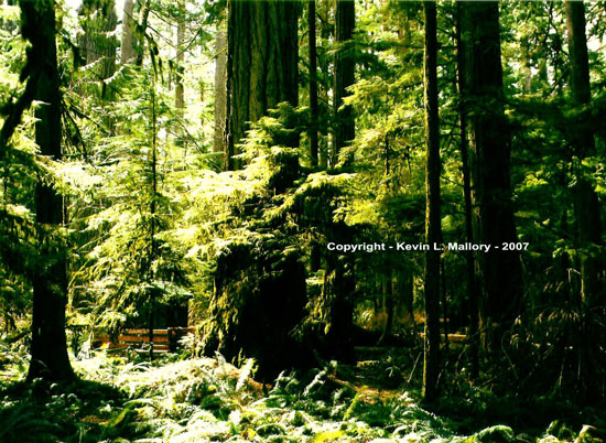 3 - The Afternoon Light of Cathedral Grove - Vancouver Island, BC
