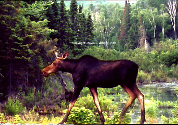 54 - Young Female Moose in the Summer Forest - Algonquin Park