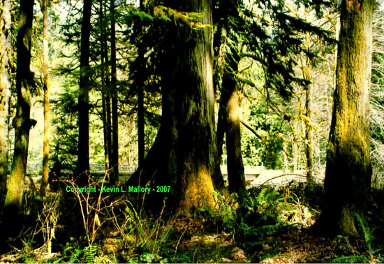 4 - Old and New Growth at Cathedral Grove - Vancouver Island, BC