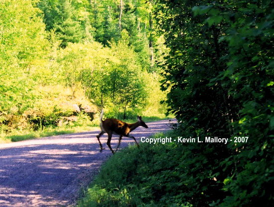 31 - Young White-Tailed Deer  ( Nows My Chance! ) - near Bennett Lake, Ont