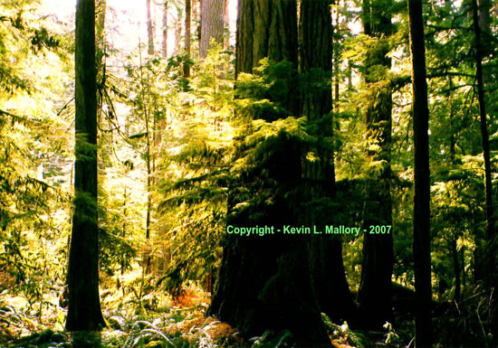 7 - The Angelic Light of Cathedral Grove - Vancouver Island, BC