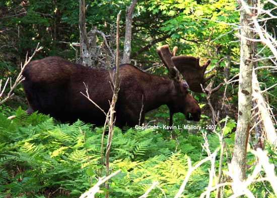27 - The Guardian Bull Moose of Franey Mountain - Cape Breton