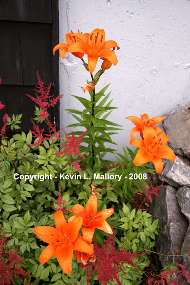 22 - Tiger Lilies In Full Bloom