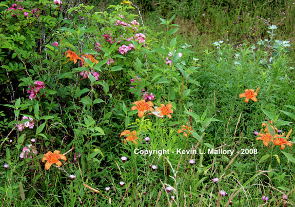 12 - A Plentiful  Mix of Wildflowers - Margaree Valley, Cape Breton