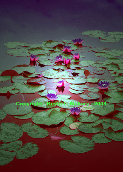 80 - The Early Light of Dawn on the Water Lilies