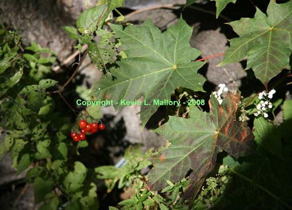 26 - Maple Leaves and Deadly Nightshade Berries -  Almonte, Ont