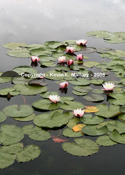 14 - The Majestic Water Lilies - Margaree Valley, Cape Breton