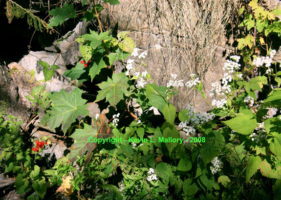 27 - Maple, Wildflowers and Deadly Nightshade - Almonte, Ont