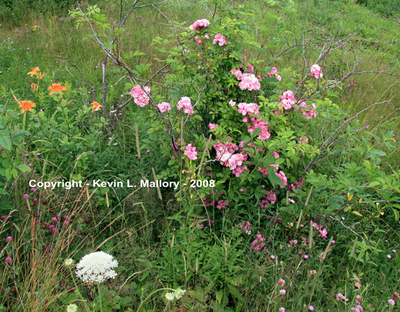 20 - Wildflowers of the Margaree Valley - Cape Breton