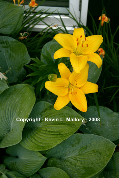 19 - Yellow Tiger Lilies
